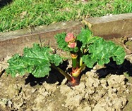 flowering rhubarb - DO NOT EAT the flower but cut off as soon as it appears